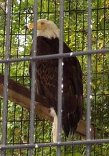 bald eagle - Dana